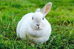 White rabbit on the grass. Poland Royalty Free Stock Photo