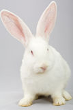 White rabbit on a gray background Royalty Free Stock Image