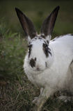 White Rabbit with gray ears Stock Photos