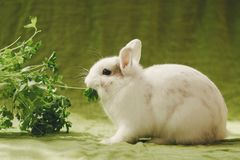 White rabbit on green background royalty free stock image