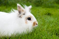 White rabbit on green grass Stock Images