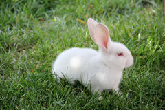 White rabbit and green grass. Cute little white rabbit and green grass Stock Photo