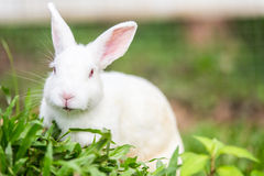 White rabbit on green grass Royalty Free Stock Images