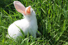 White rabbit in green grass Stock Photography