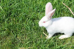 White rabbit in green grass Stock Images