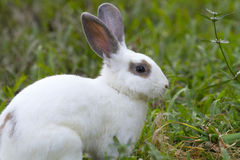 White rabbit in the green grass. Royalty Free Stock Photo