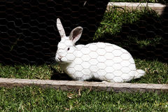 White Rabbit On Green Grass In Chicken Wire Cage Royalty Free Stock Photos