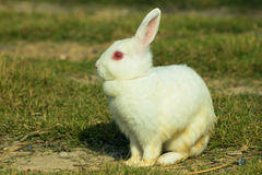 White rabbit in a green grass Stock Image