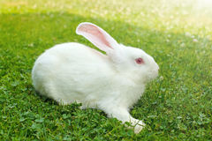 White rabbit in green grass royalty free stock photography