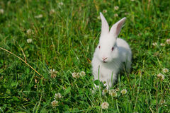 White rabbit on a green lawn Stock Photo