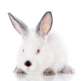 White rabbit with grey ears Royalty Free Stock Photos