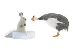 White rabbit and guinea fowls Stock Image
