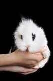 White rabbit in hands Stock Image
