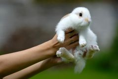 White rabbit in hands Stock Photo