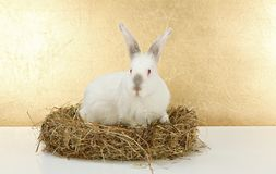 White rabbit in hay nest Royalty Free Stock Photo