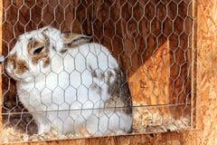 White rabbit in the hutch Stock Photo