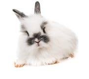 White rabbit Stock Photos