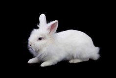White rabbit isolated on black Royalty Free Stock Images