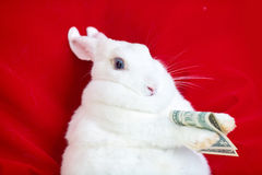 White rabbit isolated on a red holds the money lying on the back Stock Photography
