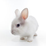 White rabbit isolated on white Royalty Free Stock Photos