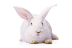 White rabbit isolated on white Royalty Free Stock Images