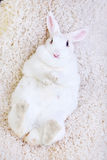 White rabbit isolated on white lying on his back Stock Images