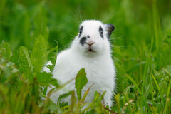White rabbit on the lawn. Royalty Free Stock Photography