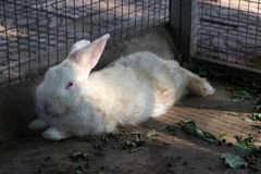 White rabbit laying down in the rabbit cage royalty free stock photo
