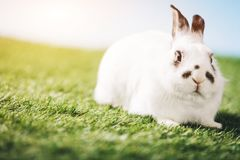 White rabbit laying on green grass royalty free stock image