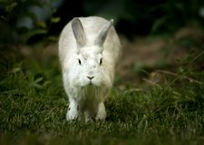A white rabbit running in the garden in spring royalty free stock photos