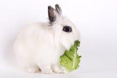 White rabbit Royalty Free Stock Images