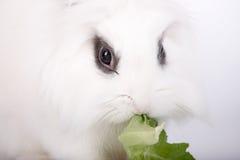 White rabbit Stock Image