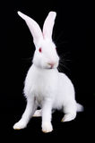 White Rabbit with long ears Royalty Free Stock Photos