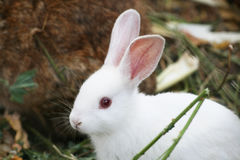 White rabbit looking. A cute white rabbit I spotted in a park stock photo