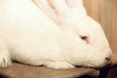 White rabbit muzzle. Stock Photos