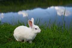 White rabbit near reservoir. Stock Image