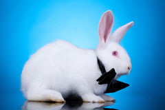 White rabbit with neck bow Royalty Free Stock Photo