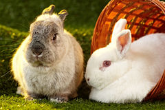 White Rabbit & Netherlands dwarf rabbit Royalty Free Stock Images