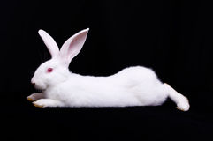 White Rabbit One. Rabbit, side view. Black background Stock Image