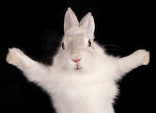 White rabbit with open pads Royalty Free Stock Photos