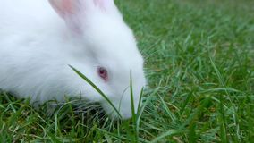 White rabbit playing at the green grass stock footage