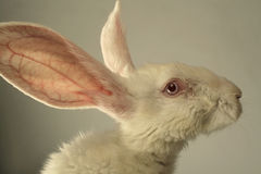 White rabbit portrait. Portrait of a white rabbit with huge ears on grey background Stock Images