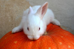 White Rabbit and pumpkin Royalty Free Stock Images
