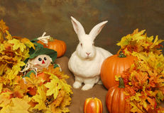 White Rabbit with Pumpkins and Stuffed Scarecrow Royalty Free Stock Image