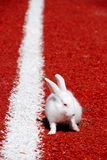 White rabbit on a racetrack. White rabbit on a red running track Royalty Free Stock Photo