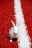 White rabbit ready to run. White rabbit on a red running track in the start position ready to run Royalty Free Stock Photos