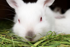 White rabbit with red eyes. Sitting on a bed of grass and looks at us Stock Photo