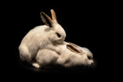 White rabbit reproduction. On a black background stock images