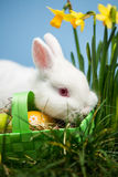 White rabbit resting on easter eggs in green basket Royalty Free Stock Photos