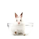 White Rabbit in Salad Bowl Stock Photo